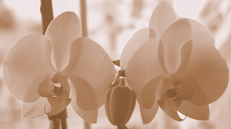 Orchidee_schw_w